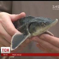 Історичне повернення осетрових: річку Дніпро у Києві зарибнили стерляддю