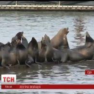 У Сполучених Штатах десятки морських левів захопили пристань