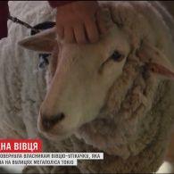 На вулицях Токіо спіймали зниклу напередодні вівцю