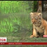 В Одеському зоопарку пара рідкісних амурських тигрів вивела двох тигренят на оглядини