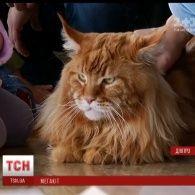 По-чоловічому поважний та ніжний тато: у найбільшого в Україні кота 9 кішок та 30 кошенят