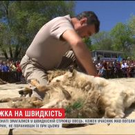 На Одещині три десятки учасників чемпіонату стригли овець на швидкість