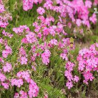 Сад Куроки: муж высадил для своей слепой любимой сад травяной сакуры