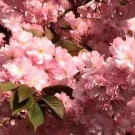 В Ужгороді на радість туристам зацвіли сакури