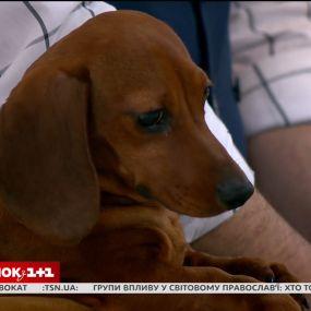 У гостях Сніданку - власниця такс Світлана Волошина та її улюбленці