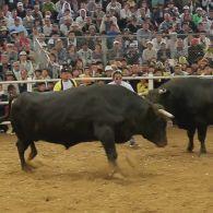 Как проходят бои быков в Японии