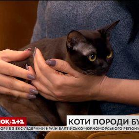 В гостях Сніданка владелица бурманских кошек Татьяна Цапенко и ее любимцы