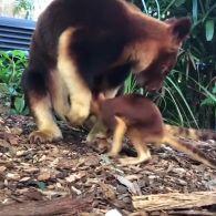 Перші кроки кенгуру