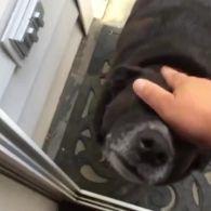 Пес проситься у незачинені двері