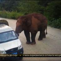 Гігантський слон атакував автомобілі в китайській провінції Юн-нань