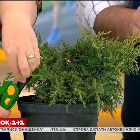 Секрети обрізки хвойних рослин від Наталі Підлісної