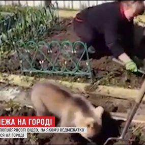 В Интернете набирает популярность видео с медведем, который помогает женщине сажать картофель