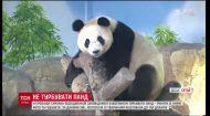 Небезпечне селфі. У китайському заповіднику людям заборонили наближатись до панд
