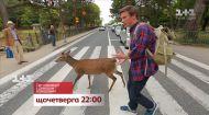 Японська корида та олені на переходах – дивіться Світ навиворіт на 1+1