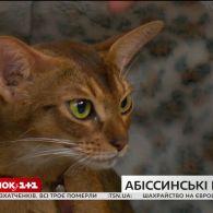 У гостях Сніданку - власниця абісинських кішок Ольга Скабовська та її улюбленці