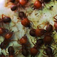 Как Дмитрий Комаров в амазонском лесу на муравьев охотился