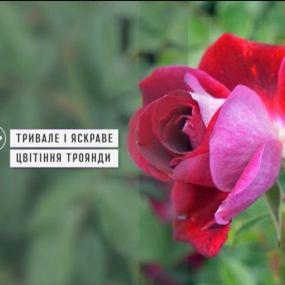 Як виростити розкішні троянди на балконі - Зелена ділянка