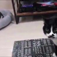 Кот співає грузинські пісні