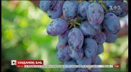 Сколько стоит виноградник и как сэкономить на его обустройстве - Зеленый участок