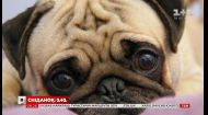 Трогательный взгляд: как собаки манипулируют своими хозяевами