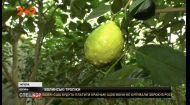 На Волині Володимир Болотін вирощує лимони, мандарини і апельсини