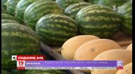 Експерти прогнозують багатий урожай баштанних в Україні - Економічні новини