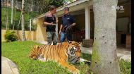 Чому відомий бразильський телеведучий оселив тигрів у власному будинку