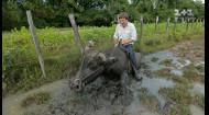 Дмитро Комаров осідлав справжнього буйвола