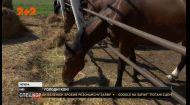 Чому на українських конезаводах коні потерпають від голоду