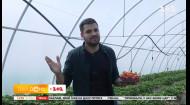Як працює полунична ферма самообслуговування та який врожай цьогоріч — пряме включення