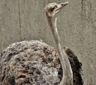 У маленькому селі на Прикарпатті вирішується доля страусів