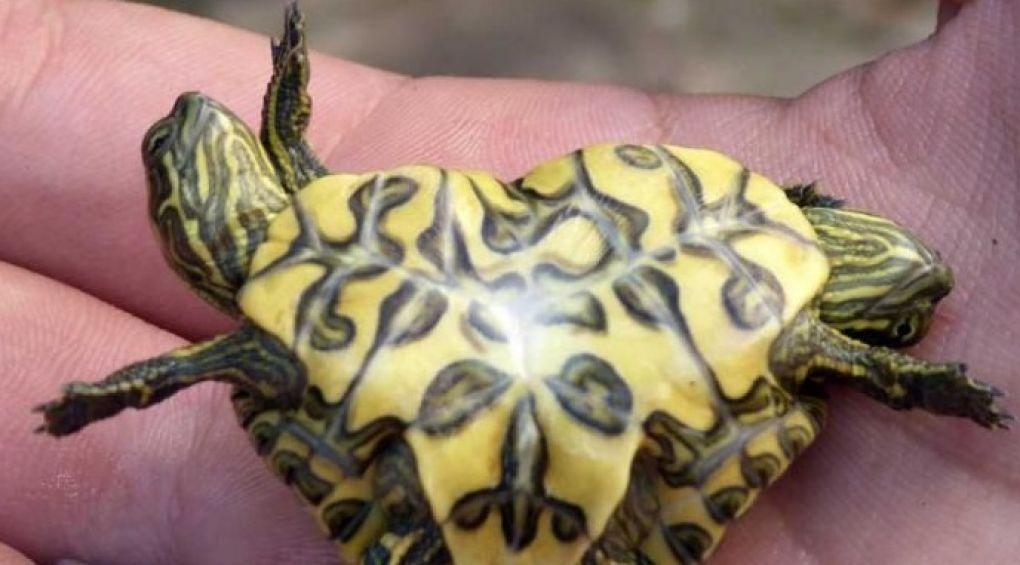 На Кубе рыбак нашел живую двухголовую черепаху