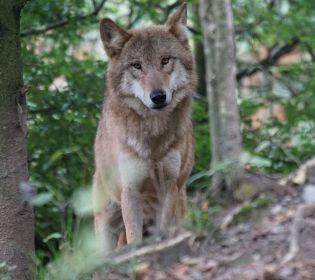 На Вінниччині вовки тероризують жителів трьох сіл