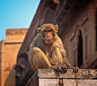 Нью-Делі атакували банди голодних і нахабних макак