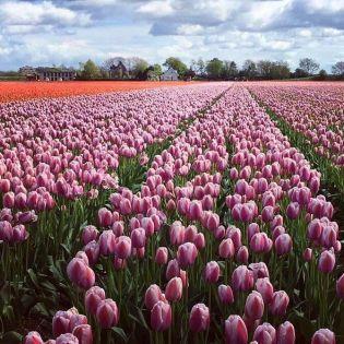 5 самых красивых цветочных полей Европы