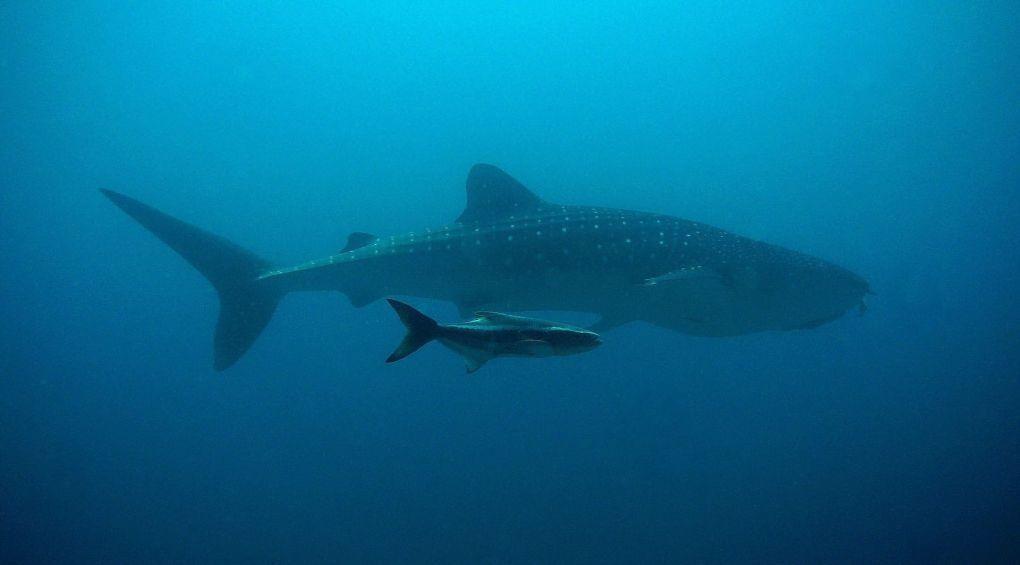 Мир глазами акулы: видео от первого лица