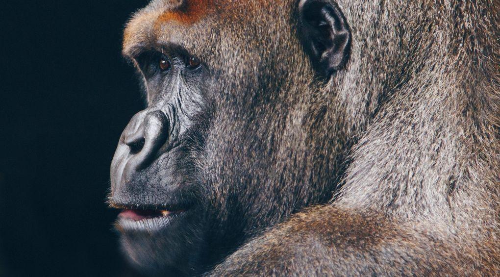 Ученые создали первую человекообразную обезьяну (видео)