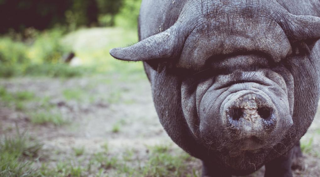 Эволюция или случайность: Свиньи впервые использовали орудие труда (видео)
