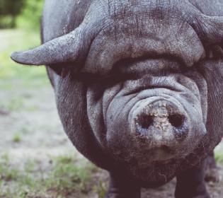 Еволюція чи випадковість: Свині вперше використали знаряддя праці (відео)