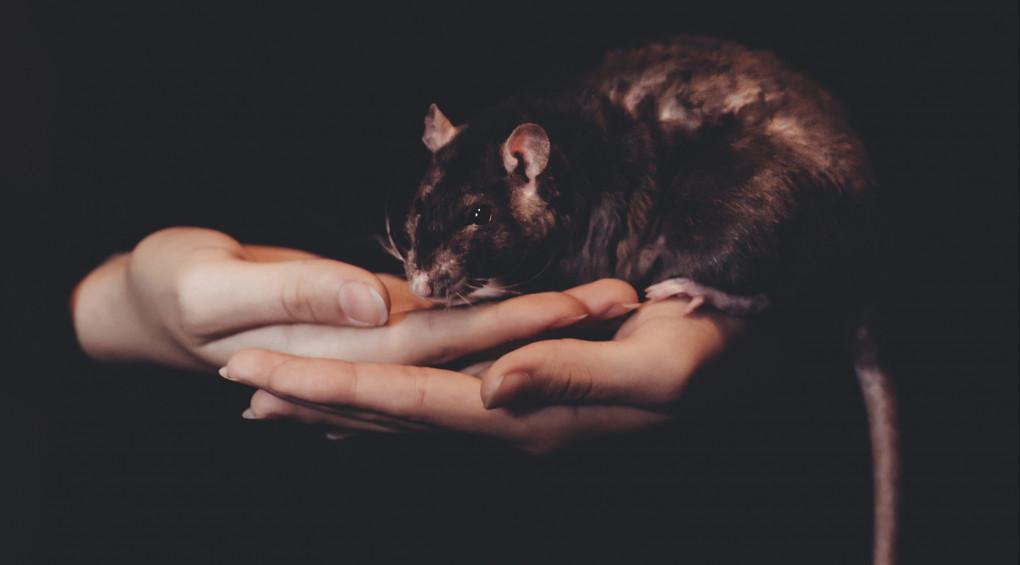 Вчені навчили пацюків керувати авто (відео)