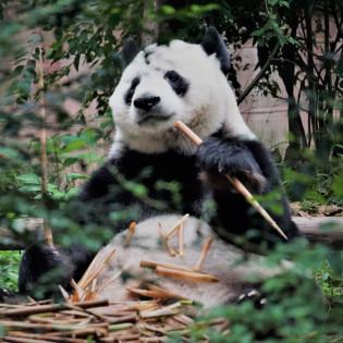 В китайском кафе собак покрасили в панд (видео)