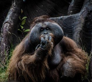 Теперь факт: Орангутаны умеют разговаривать