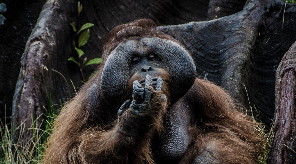 Тепер факт: Орангутанги вміють розмовляти