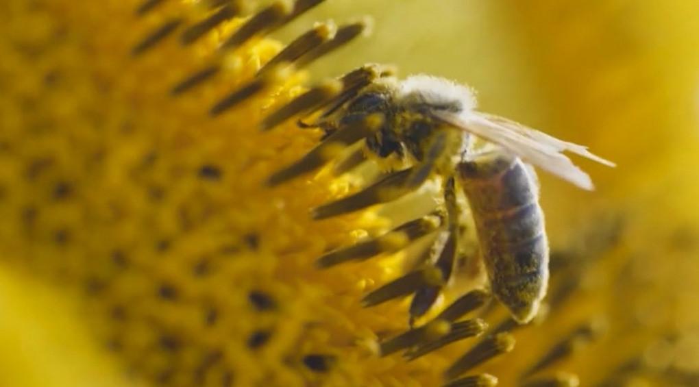 Вимирання бджіл може призвести до глобальної катастрофи
